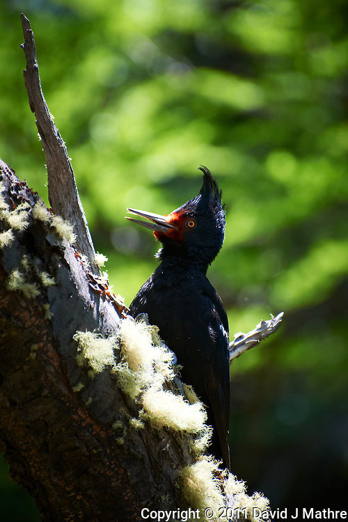 Female Magellanic Woodpecker. Image taken with a Nikon D3x and 70-300 mm VR lens (ISO 100, 300 mm, f/5.6, 1/100 sec)