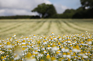© Rob Arnold.  07/08/2014. Hampshire, UK. Camomile in fields on the Malshanger estate. The farm grows Black Mitcham peppermint, lavender and camomile as their 'aromatic' crop, along with the staple farm crops such as wheat and barley. The camomile is harvested for oil and tea. Photo by Rob Arnold