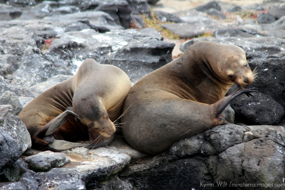 South America, Ecuador, Galapagos, South Plaza Island. Pair of Sea Lions scratching together.