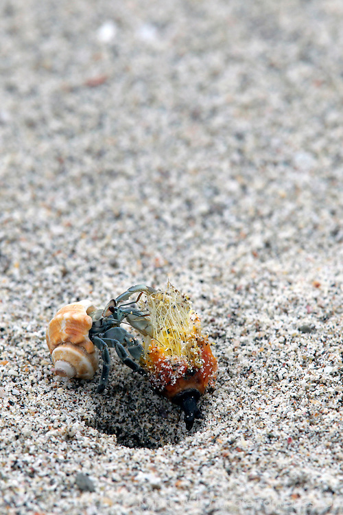 Central America; Costa Rica, Pacific Coast. Hermit Crab close-up.