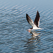 A Black Skimmer (Rynchops niger) bird in flight harvests food from the rippled surface of a pond. Assateague Island is within Chincoteague National Wildlife Refuge, in the Atlantic Ocean off the coast of the Virginia Eastern Shore, USA, and can be reached by road from Chincoteague Island via a bridge over Assateague Channel.