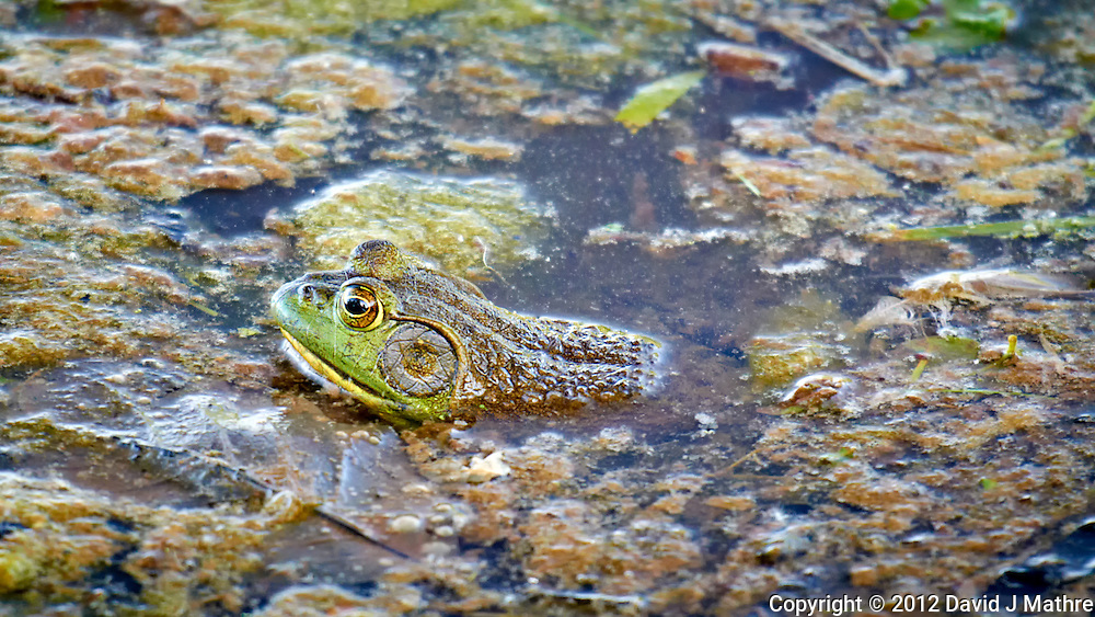 Bull Frog in a Pond at the Sourland Mountain Preserve. Spring Nature in New Jersey. Image taken with a Nikon 1 V1 + FT1 + 70-200 mm f/2.8 VR lens (ISO 400, 200 mm, f/4, 1/400 sec). FOV = 540 mm with a 35 mm sensor.