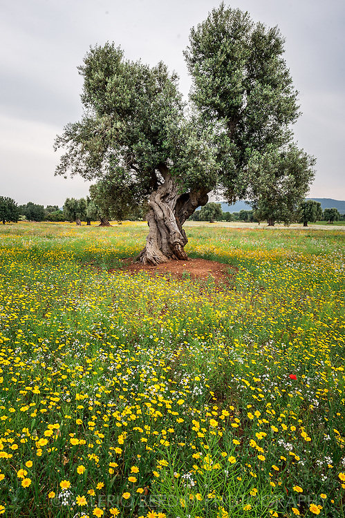 Olive Trees in Salento have been grown for centuries an are a key part of the agricolture of Apulia (Puglia).