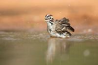 Lark sparrow bathing
