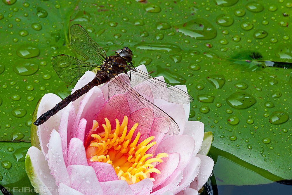 a dragonfly hovers over a pond lily in a macro (closeup) photo