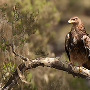 Tawny Eagle at Simien Mountains N.P., Ethiopia