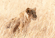 A lion cub gazes out upon the plains of Kenya's Masai Mara.