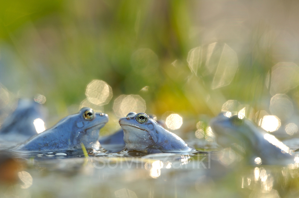 During their mating season the male moor frogs (Rana arvalis) show a distinctive blue coloration. They gather in shallow ponds which quickly warm up in spring.  | Moorfrosch (Rana arvalis)