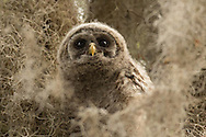 A young barred owlet peers through a veil of Spanish moss in it's Florida home. Not yet able to fly, this young owl hopped from branch to branch as he ventured away from the nest.