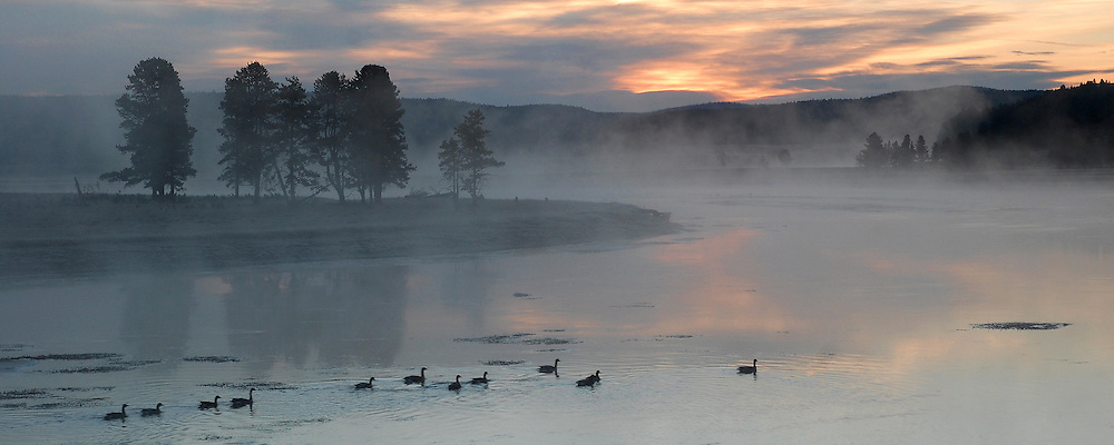 A family group of Canada geese navigate the chilly waters of the Yellowstone River in Hayden Valley.