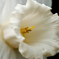 Daffodil & Narcissus Flower Stock Photos