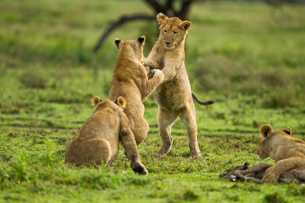 Tanzania, Ngorongoro Conservation Area, Ndutu Plains, Lion Cubs (Panthera leo) playing and wrestling on open savanna
