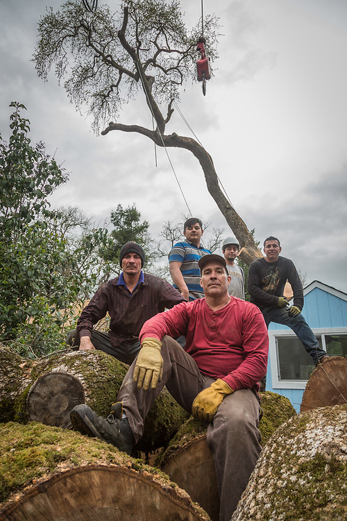 Lift operator Bruce Adair (red) posses with tree cutter Carlos Ruiz (left) and his crew after working all day cutting the majority of a large rotted oak tree at 1514 Myrtle Street in Calistoga.