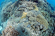 Elk horn corals or staghorn corals, Acropora sp , are among the fastest growing corals on the reef.Great Barrier Reef, Australia, Pacific Ocean