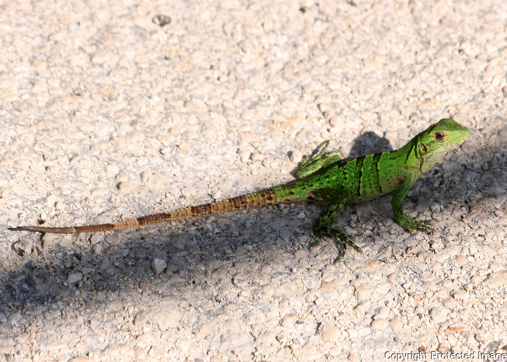 A brilliant green juvenile Iguana warms itself on a gravel road in Mexico.