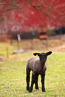 Nick Forrest raises lamb in Butler County.(Jodi Miller)