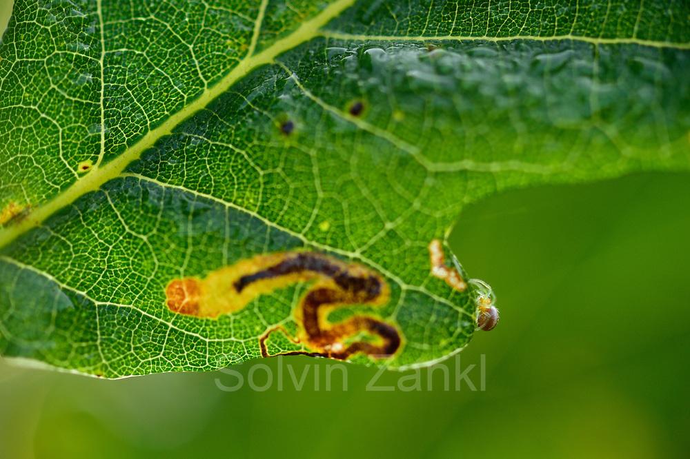 Miniermotte (Stigmella sp.)