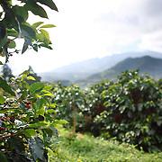 A coffee tree is shown on the hillside coffee farm of Kotowa Coffee in Boquete, Panama.