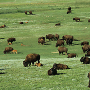 Herd of American Bison with calves in Wind Cave National Park in South Dakota.