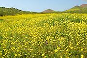 Desert Sunflowers Blooming in the Mojave Desert