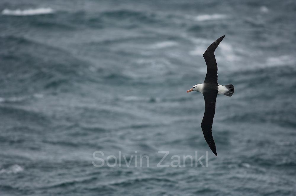 Black browed albatross  (Diomedea melanophris) | Schwarzbrauenalbatros (Diomedea melanophris)