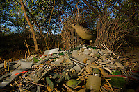 Great Bowerbird (Chlamydera nuchalis) male at his bower with green glass, plastic toy elephant, toy soldier, and other decorations..Townsville, Queensland, Australia...Fantome St. Bower