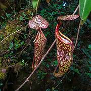 Pitcher plant (Nepenthes macfarlanei) is endemic to the highlands of Cameron Highlands, Pahang, Malaysia.