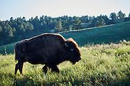 A wild bison walks through a grassy meadow in Custer State Park, South Dakota.