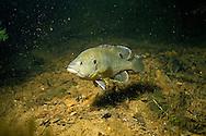 Green Sunfish<br /> <br /> ENGBRETSON UNDERWATER PHOTO