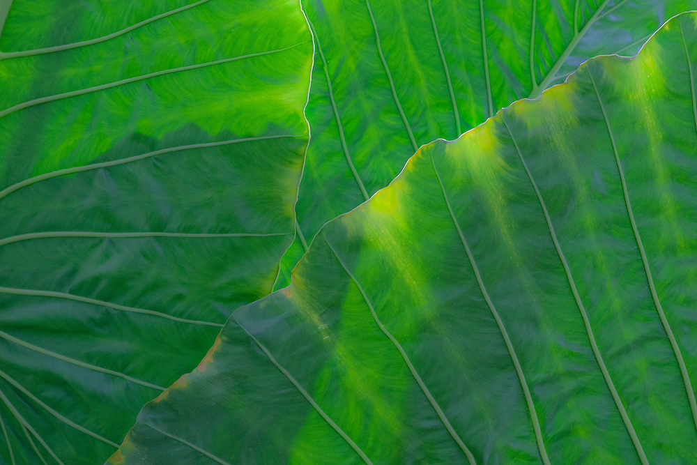 Giant tropical leaves in an abstract design
