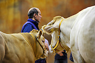 4/10/12 - COURNON - PUY DE DOME - FRANCE - Sommet de l Elevage 2012. Ventes aux encheres Blonde d Aquitaine - Photo Jerome CHABANNE