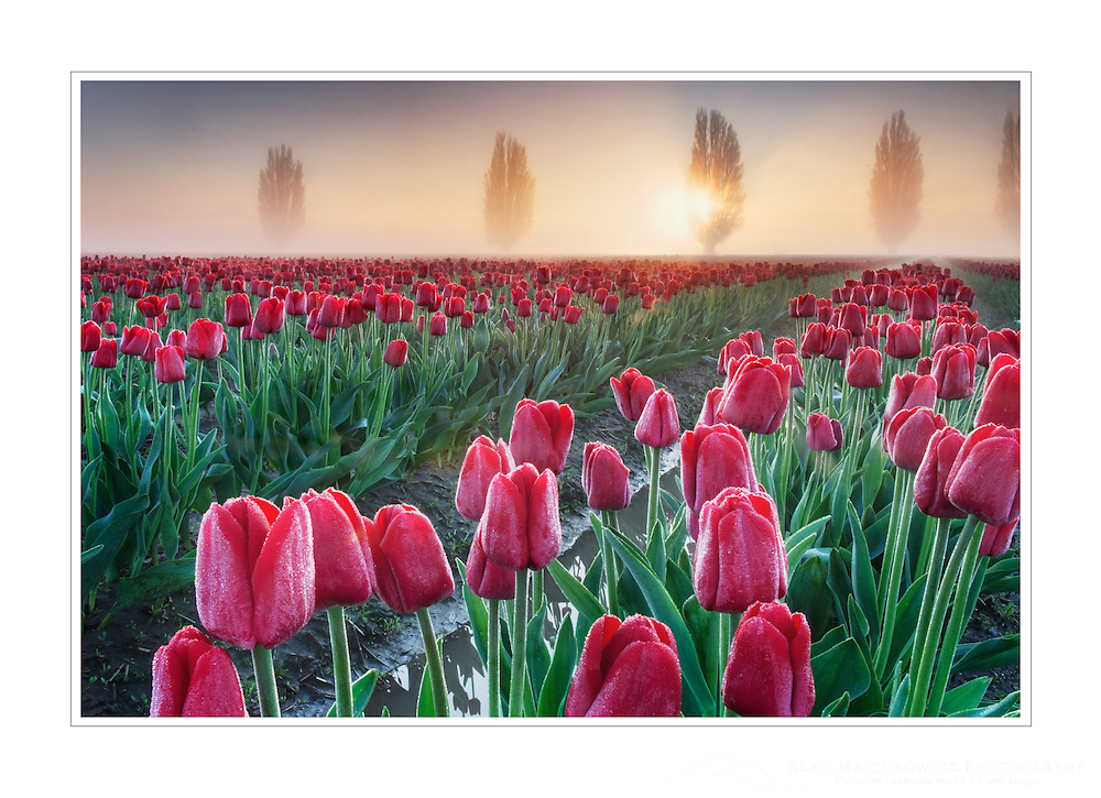 Foggy Sunrise over the Skagit Valley Tulip Fields, Washington
