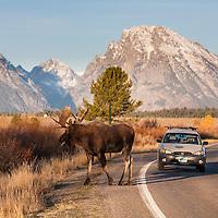 Moose crossing road in Grand Teton National Park