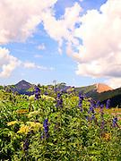 Larkspur & Cow Parsnip Blooming in Porphyry Basin San Juan Mountains Colorado