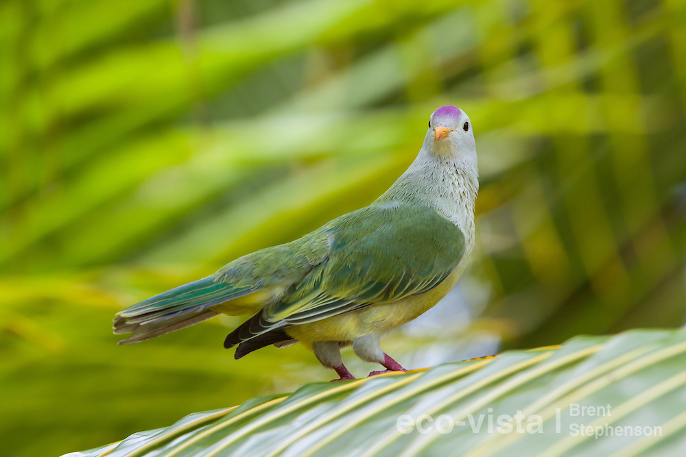 Atoll fruit-dove (Ptilinopus coralensis) peering back over its shoulder as it perches on a palm frond. Takapoto, Tuamotus, French Polynesia. November. Near threatened.