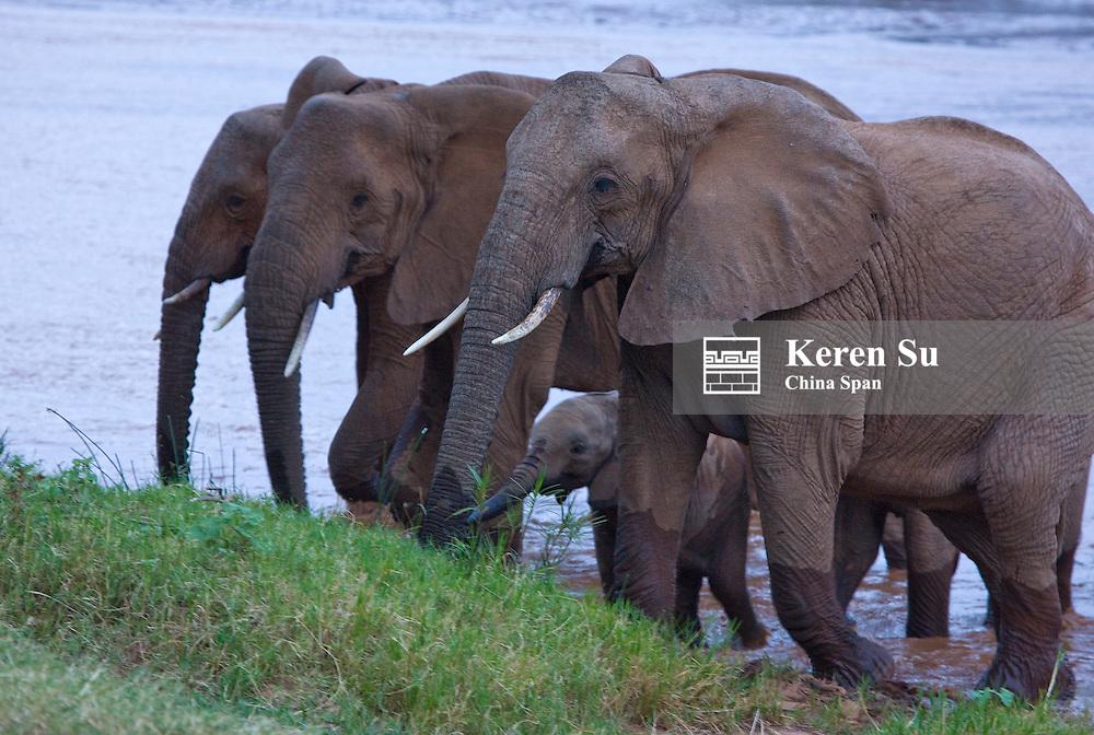 Elephant herd with cub, Samburu, Kenya