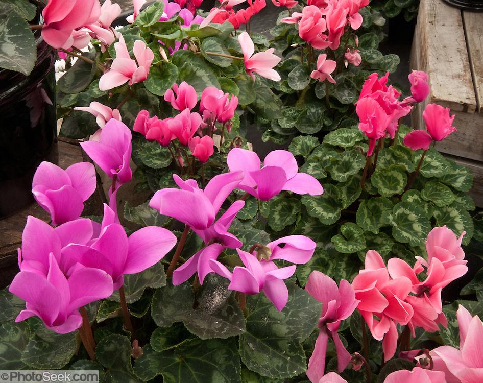 Cyclamen persicum. Molbak's Garden & Home, Woodinville, Washington.