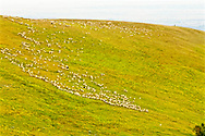 Great Pyrenees, dog, guards band of sheep, Bighorn National Forest, Wyoming