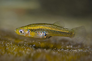 Pecos Gambusia<br /> <br /> Isaac Szabo/Engbretson Underwater Photography