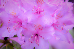 Rhododendron blooming near the Grandview Overlook at New River Gorge National River in West Virginia.