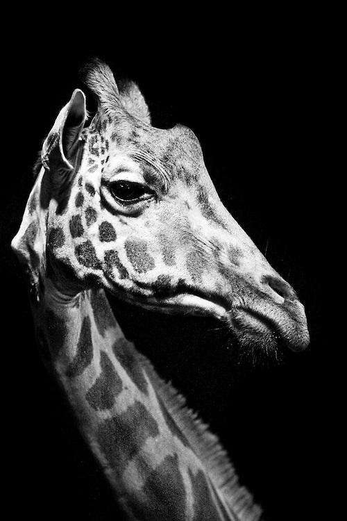 An endangered Rothschild giraffe at Giraffe Manor in Nairobi, Kenya