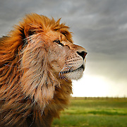 SHOT 6/18/14 4:36:56 PM - A male African lion at The Wild Animal Sanctuary, a 720-acre animal sanctuary located near Keenesburg, Colorado. The sanctuary specializes in rescuing and caring for large predators which are being mistreated,  poorly cared for or which might otherwise be euthanized. It is a nonprofit organization and a state and federally licensed zoological facility. Established in 1980, The Wild Animal Sanctuary  has helped over 1,000 animals since it first opened. As of 2012, it was home to over 290 animals. (Photo by Marc Piscotty / © 2014)