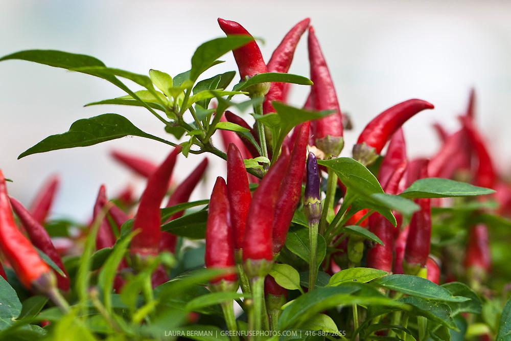 sangria ornamental pepper capsicum annuum 39 sangria 39 greenfuse photos garden farm food. Black Bedroom Furniture Sets. Home Design Ideas