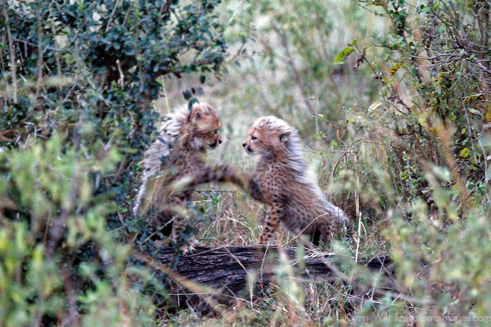 Africa, Kenya, Masai Mara. Cheetah cubs.