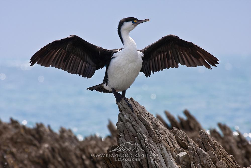 Pied Cormorant, New Zealand