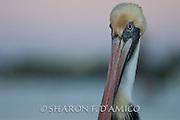 A Brown Pelican Portrait, Side View