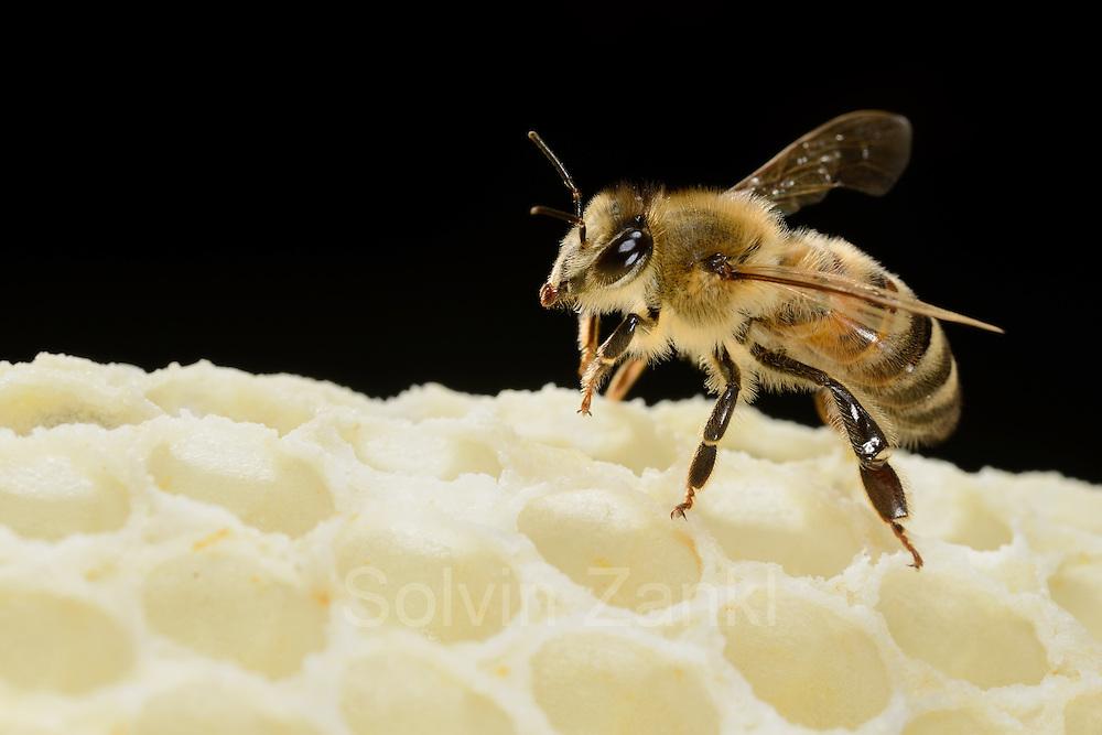Honey bee (Apis mellifera), Kiel, Germany   Eine Wächterin der Honigbiene (Apis mellifera) am auf einer Wabe. Die Binen verteidigen Ihren Stock gegen andere Insekten und auch Honigbienen von einem anderen Volk.  Kiel, Deutschland