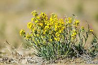 Blooming wildflowers in the Red Desert of Wyoming