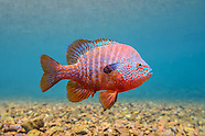 Longear Sunfish, Underwater