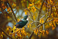 A tui bird in a flowering kowhai tree, New Zealand.<br /> <br /> The Tui  - Prosthemadera novaeseelandiae - features distinctive white throat tufts and a white feathers collar.